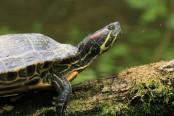 Želva nádherná, zavlečený druh v naší přírodě