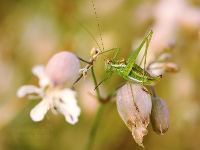 Kobylka bělopásá