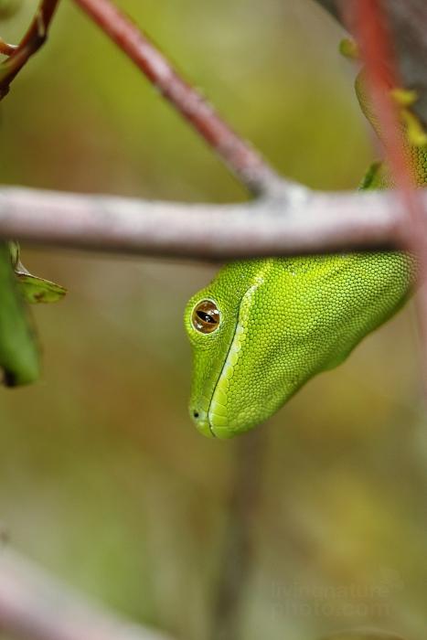 Pagekon zelený