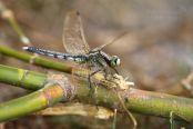 Vážka bělořitná