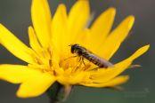 Pestřenka pruhovaná (Episyrphus balteatus)