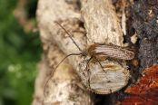 Tesařík (Prionoplus reticularis)