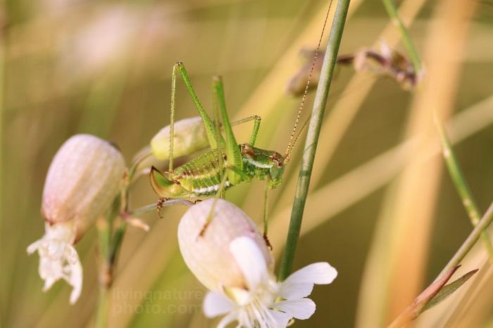 Kobylka bělopásá (Leptophyes albovittata)
